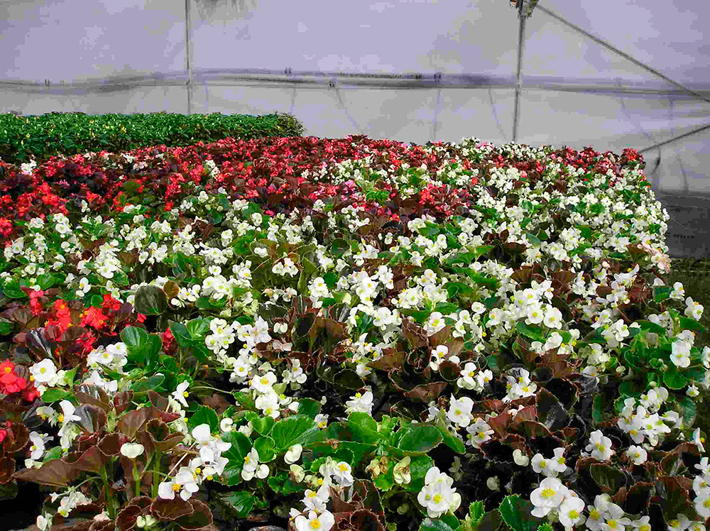 Invernadero de plantas ornamentales en asturias cultivos for 20 plantas ornamentales