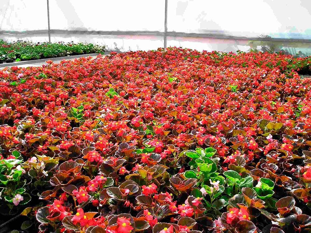 Invernadero de plantas ornamentales en asturias cultivos Plantas de invernadero